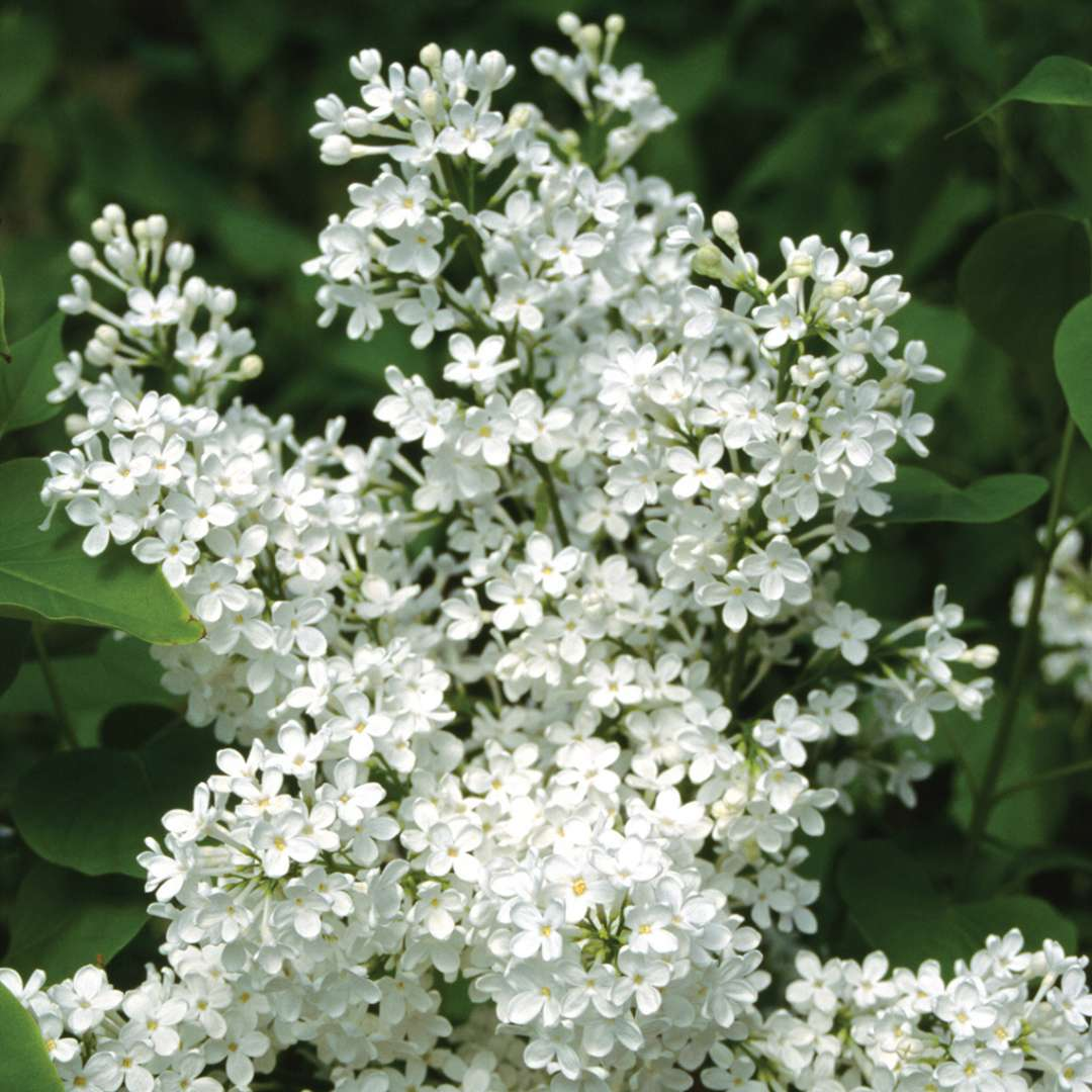 Delicate white flowers of Betsy Ross lilac shown up close