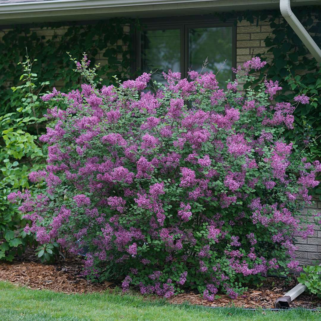 Bloomerang Dark Purple lilac planted in front of a brick home