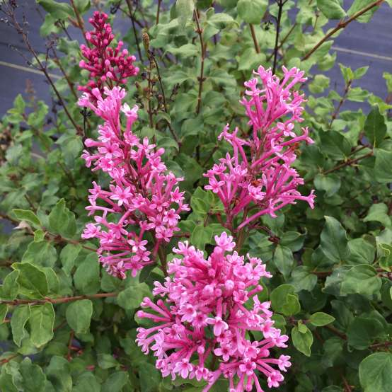 The flowers of Bloomerang Dwarf Pink reblooming lilac up close