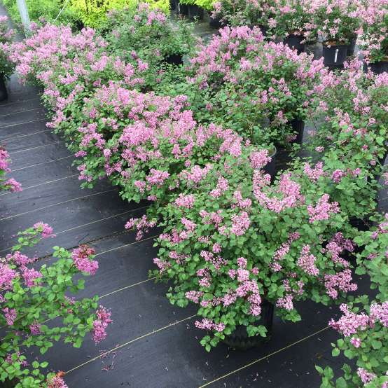 Bloomerang Dwarf Purple reblooming lilac in pots in a nursery setting