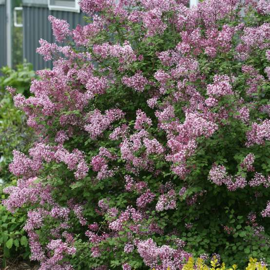Bloomerang Purple reblooming lilac in the landscape