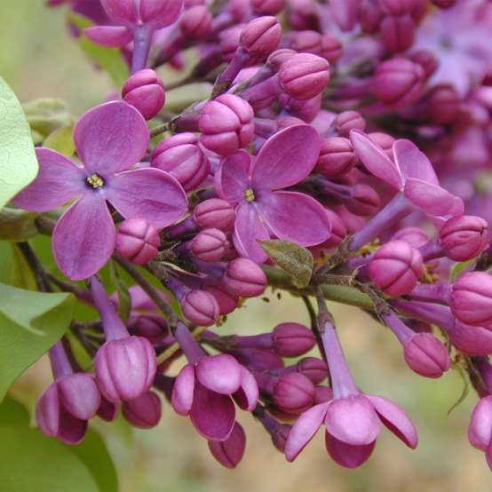 Closeup of the purple flowers