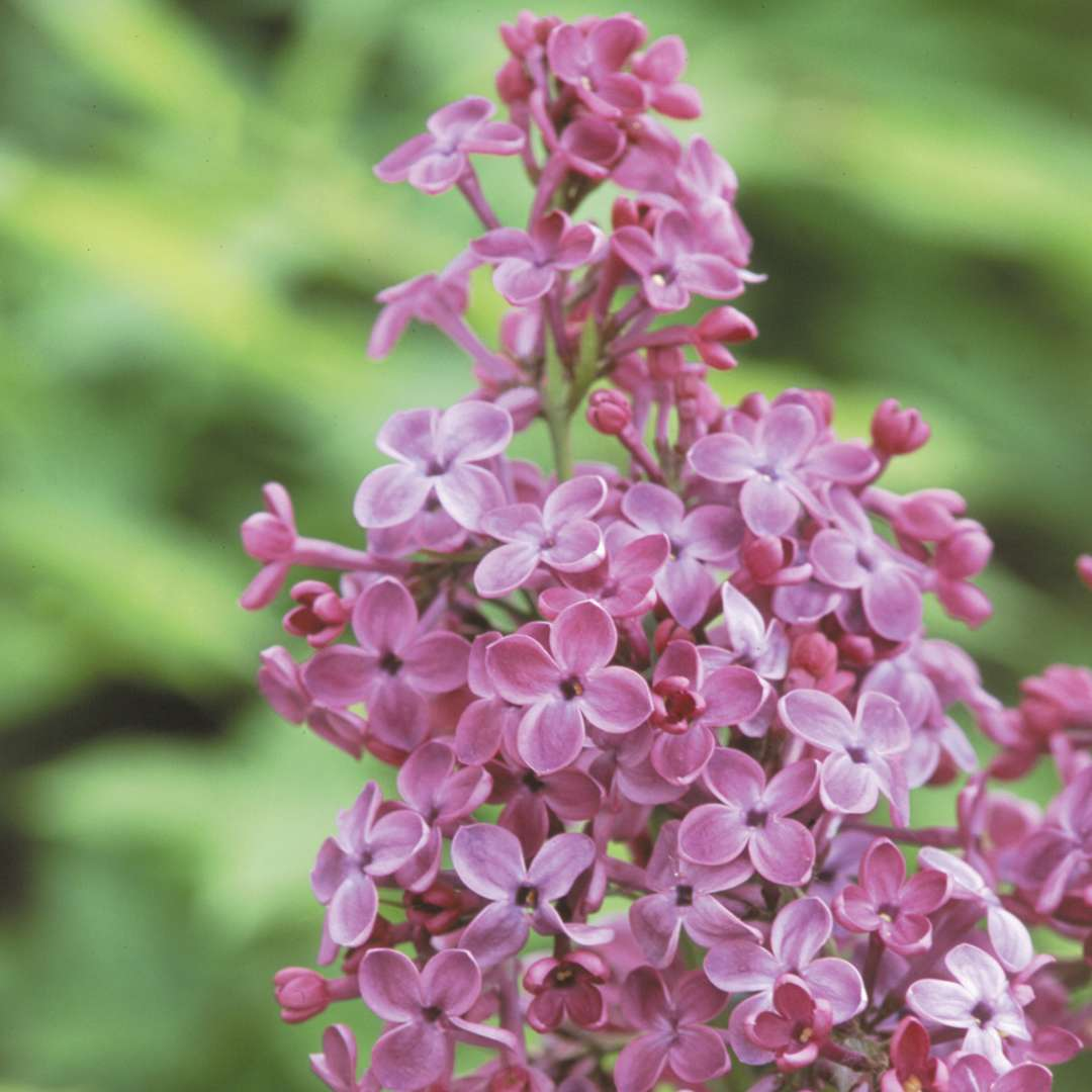 The flowers of Pocahontas lilac are a unique red purple color