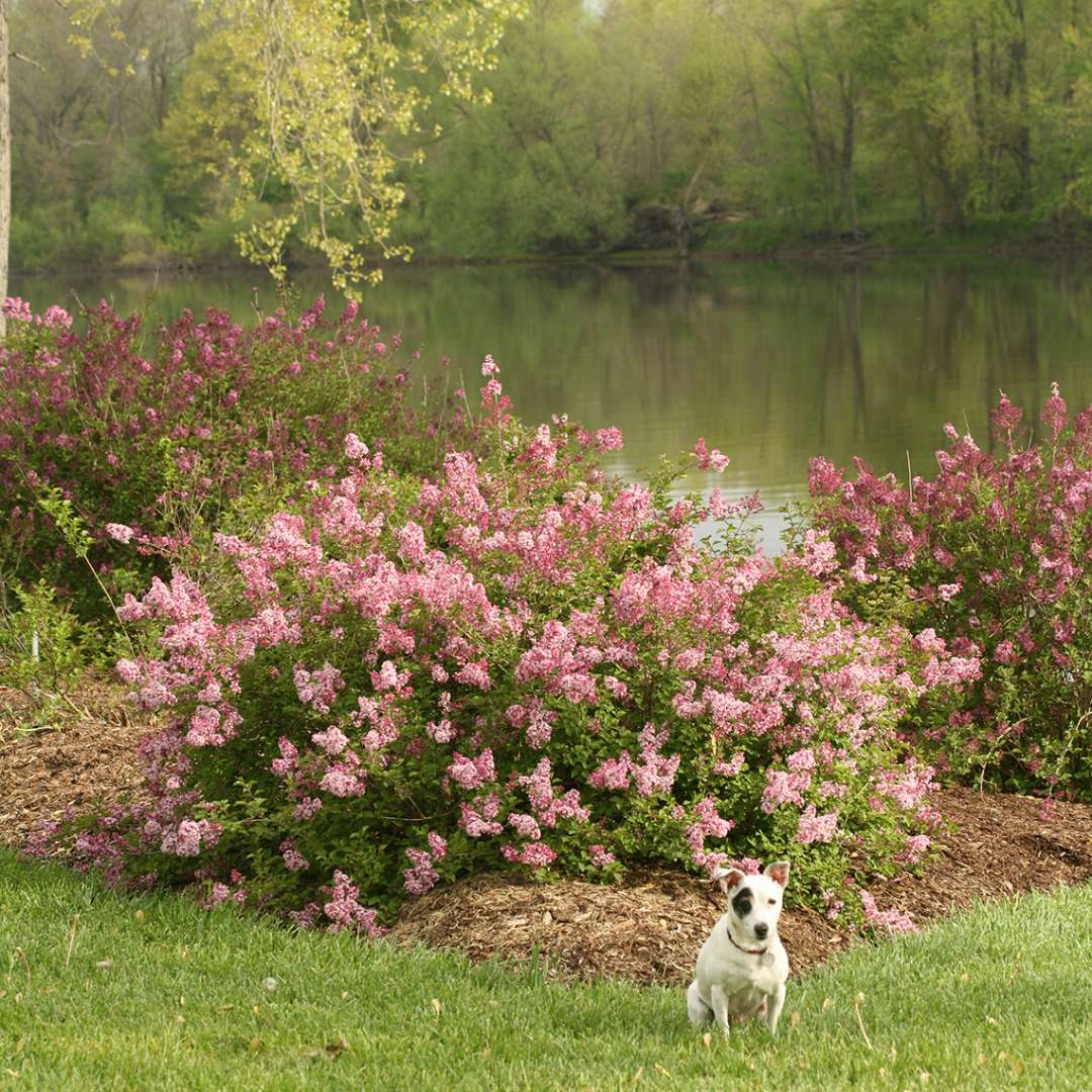 Scent and Sensibility dwarf lilac in the landscape with the Grand River in the background