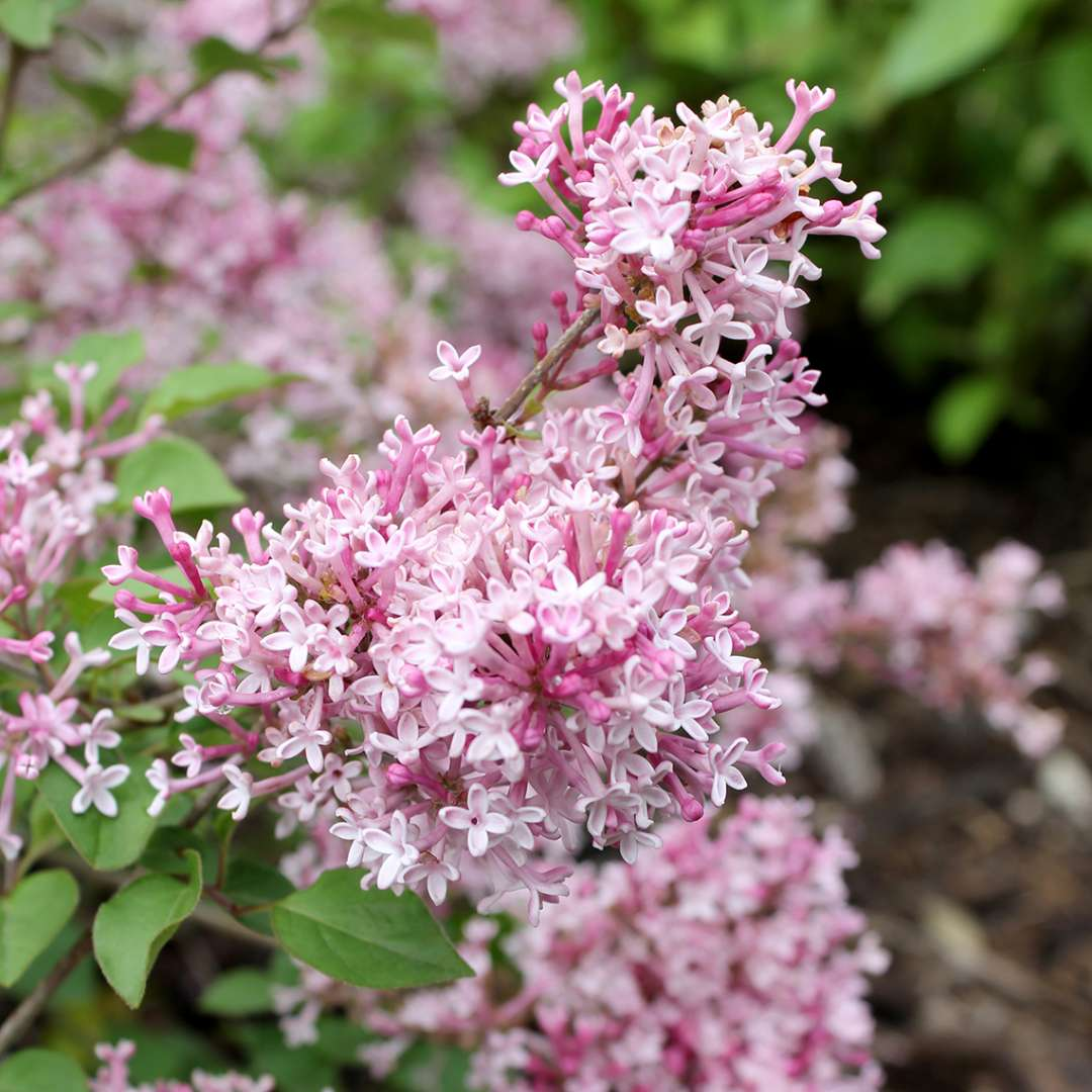 Scent and Sensibility dwarf lilac flowers
