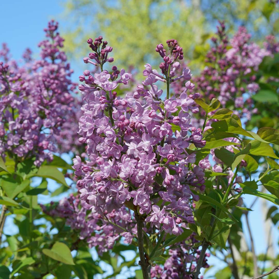 The double blooms of Scentara Double Blue lilac