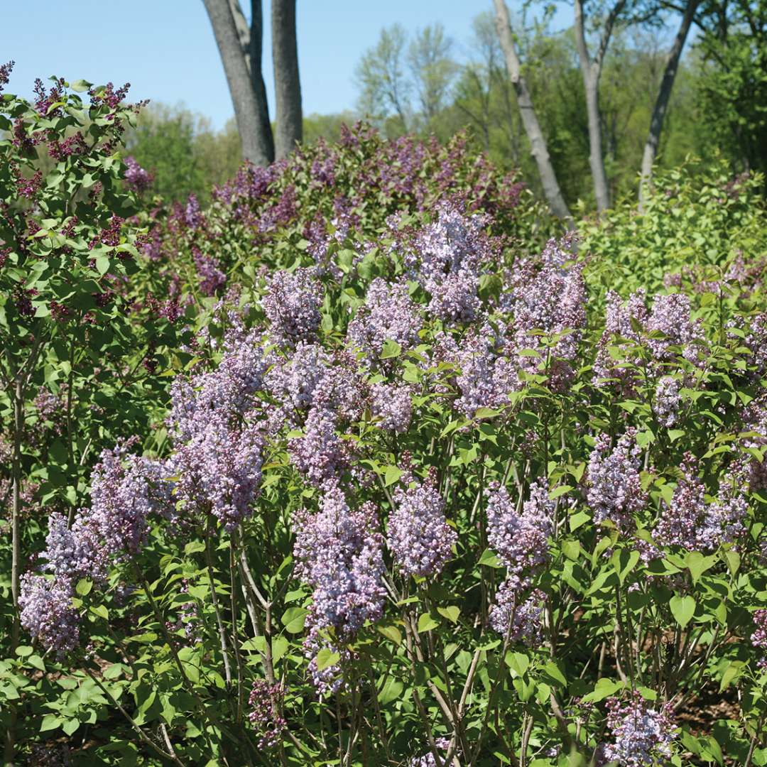 Scentara Double Blue lilac shrub in the landscape