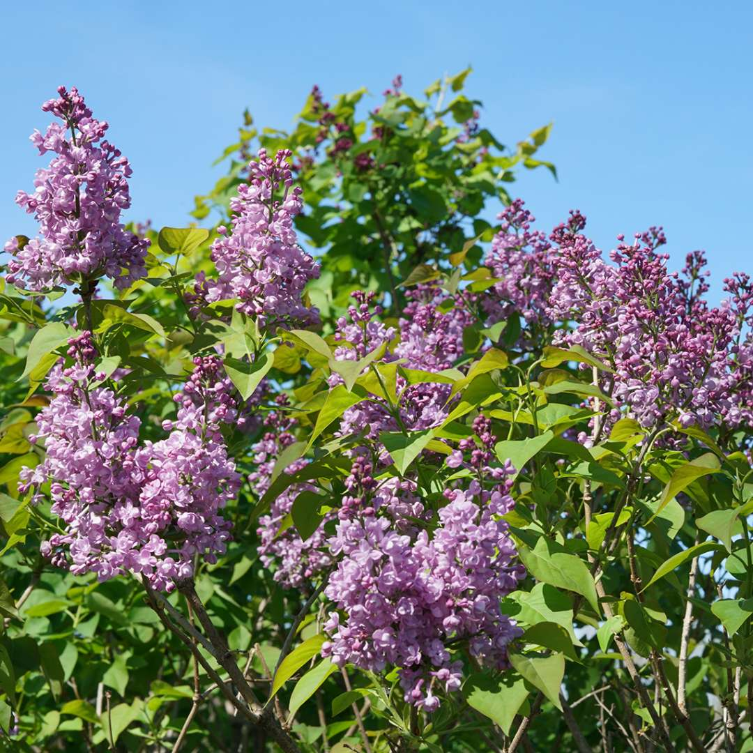 Flowers of Scentara Double Blue lilac against a blue sky