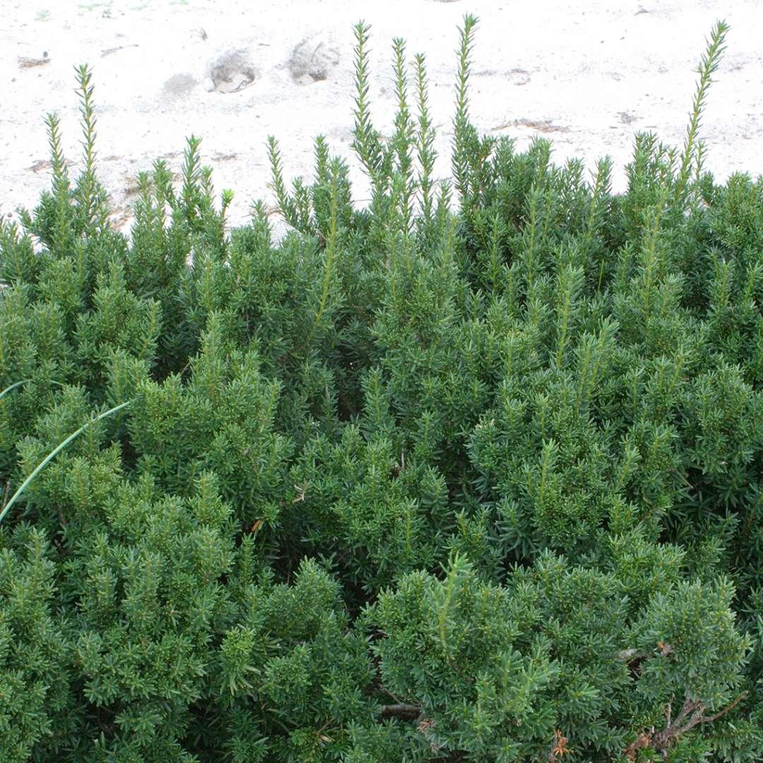 Dark Green Spreader Taxus Spring Meadow Wholesale Liners