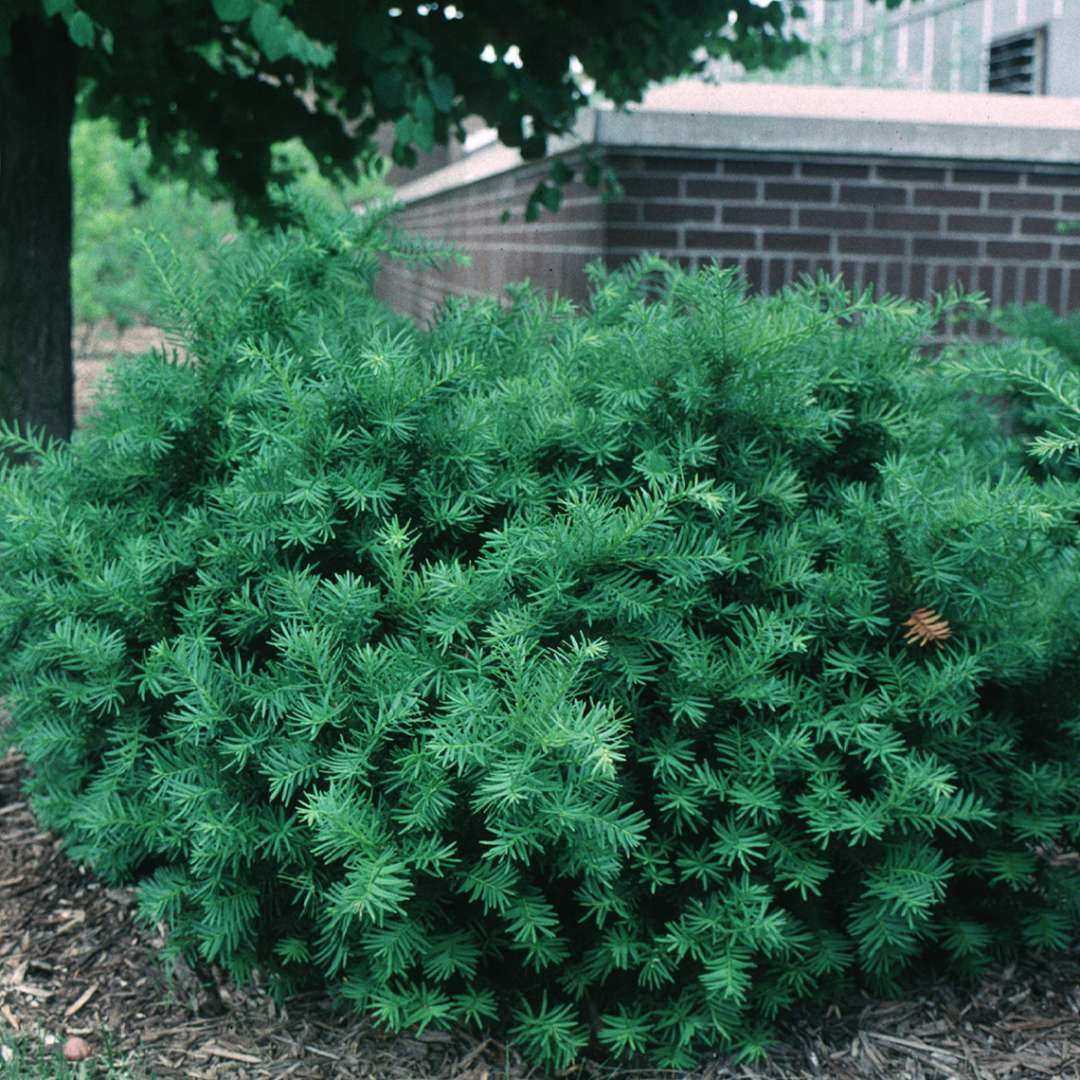 Densiformis Taxus Spring Meadow Wholesale Liners Spring Meadow