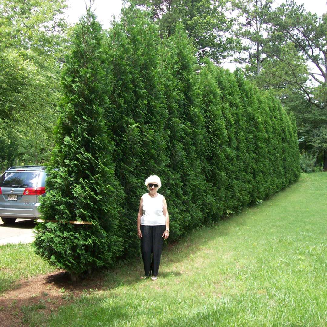 A woman named Mavis in front of a hedge of American Pillar arborvitae