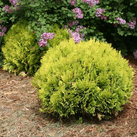 Annas Magic Ball dwarf arborvitae with a blooming lilac behind it