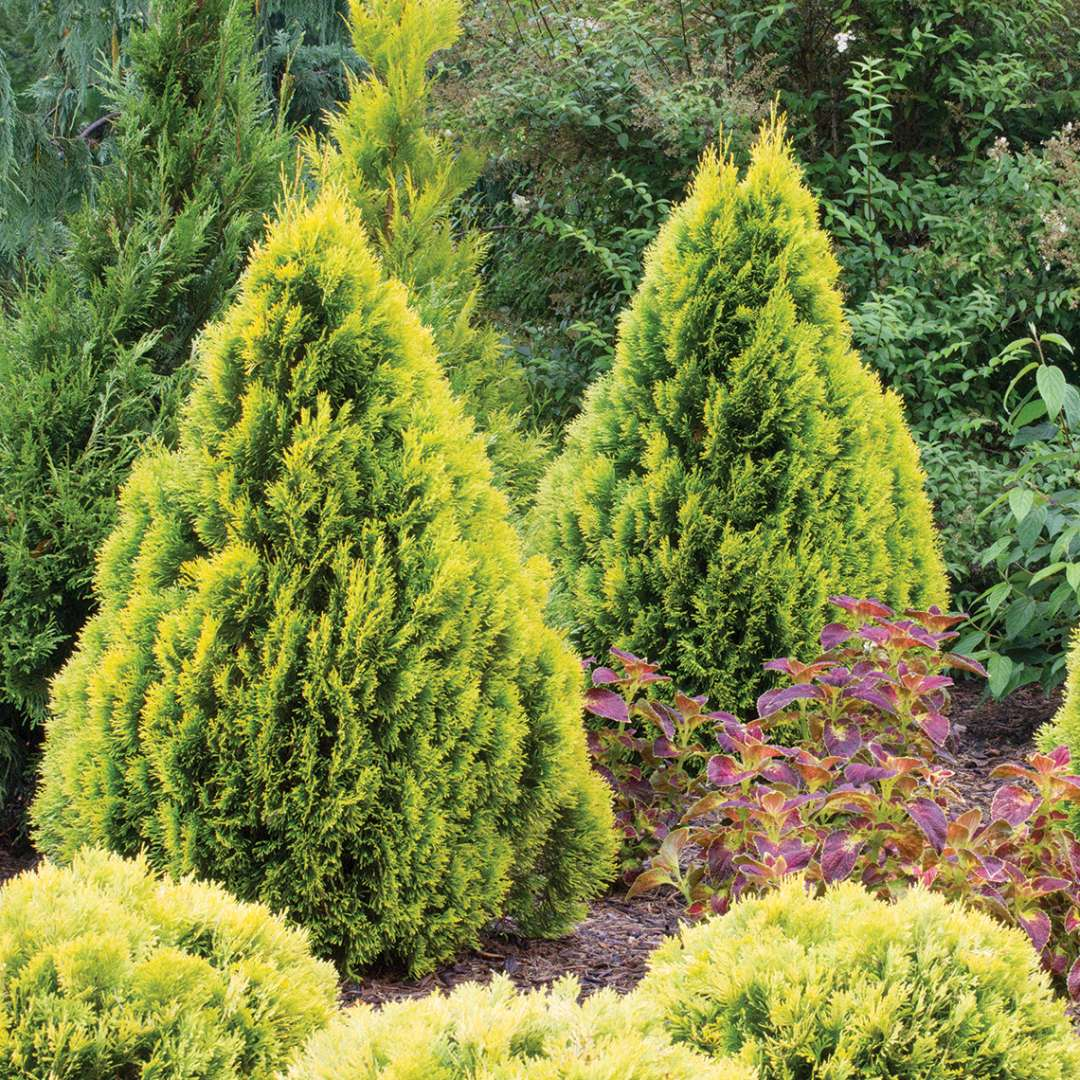 Two specimens of dwarf golden Filips Magic Moment arborvitae in a landscape surrounded by other evergreens