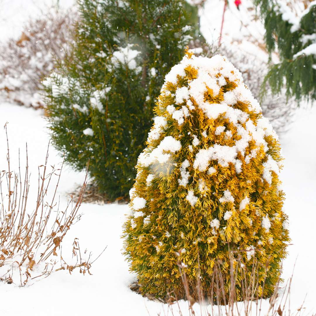 A single specimen of Filips Magic Moment arborvitae in a snowy landscape