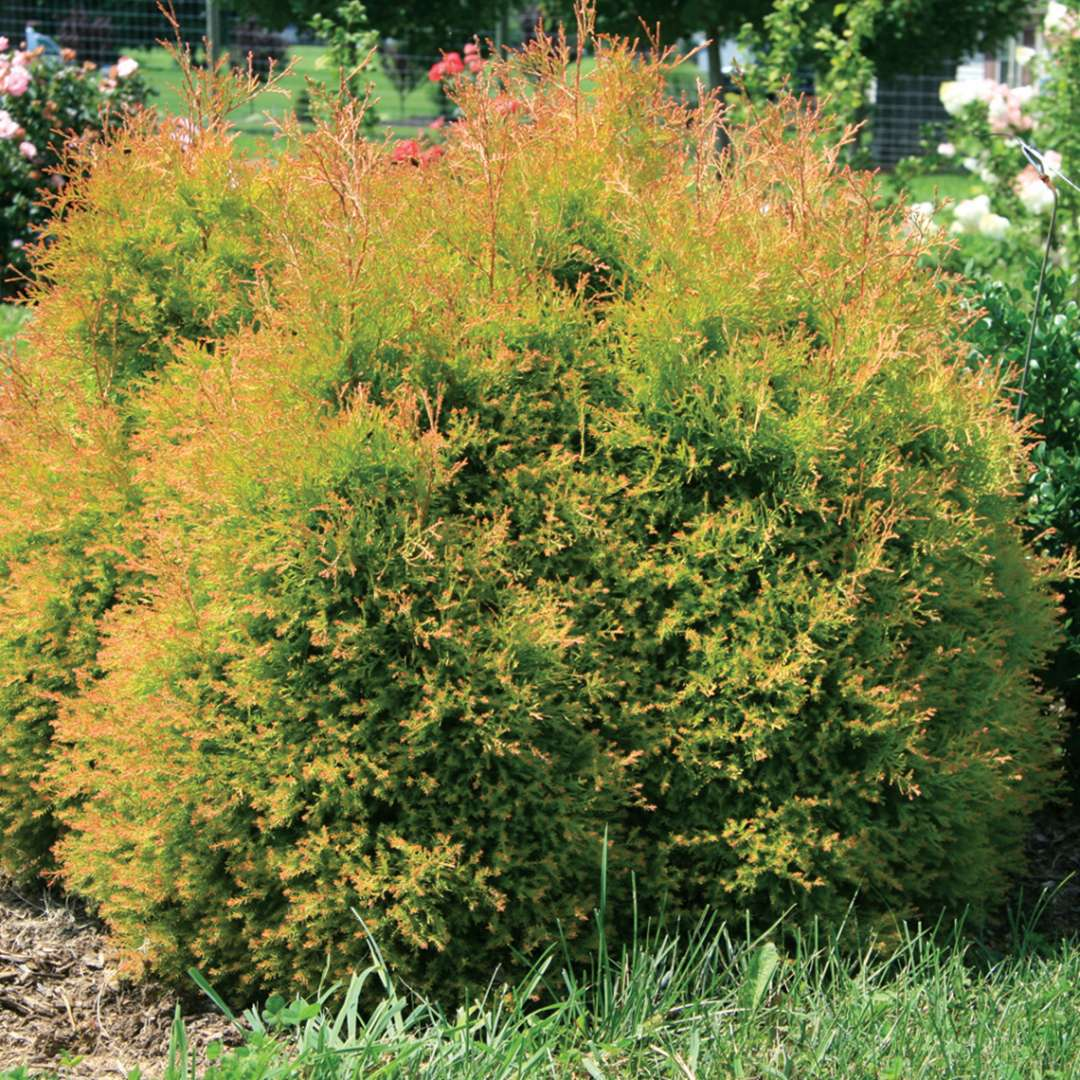 Fire Chief arborvitae forms a glowing rounded shape in the landscape
