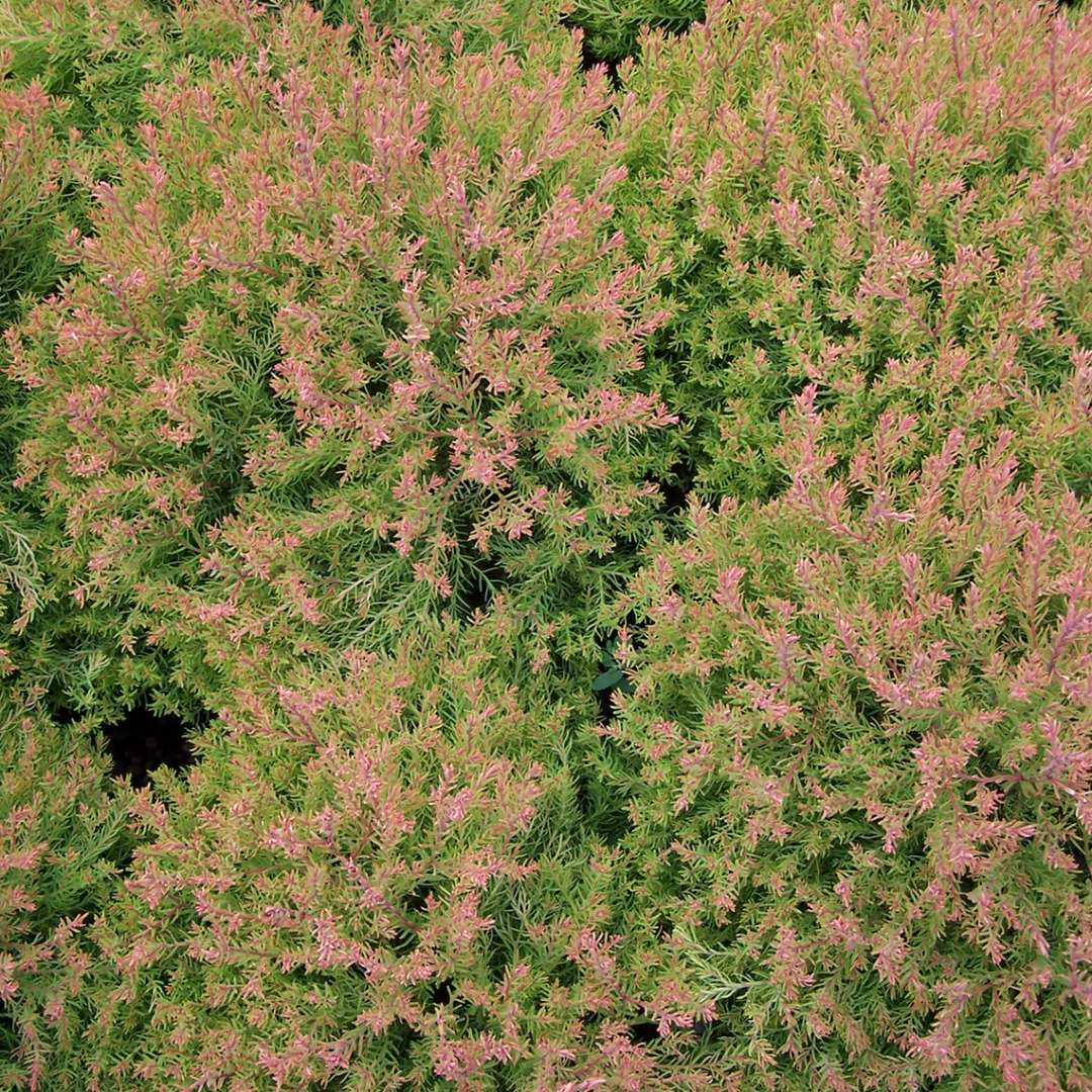 A closeup of the evergreen red yellow and green foliage of Fire Chief arborvitae