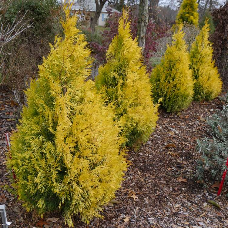 Four specimens of bright gold pyramidal Fluffy Western arborvitae growing in an arc in the landscape