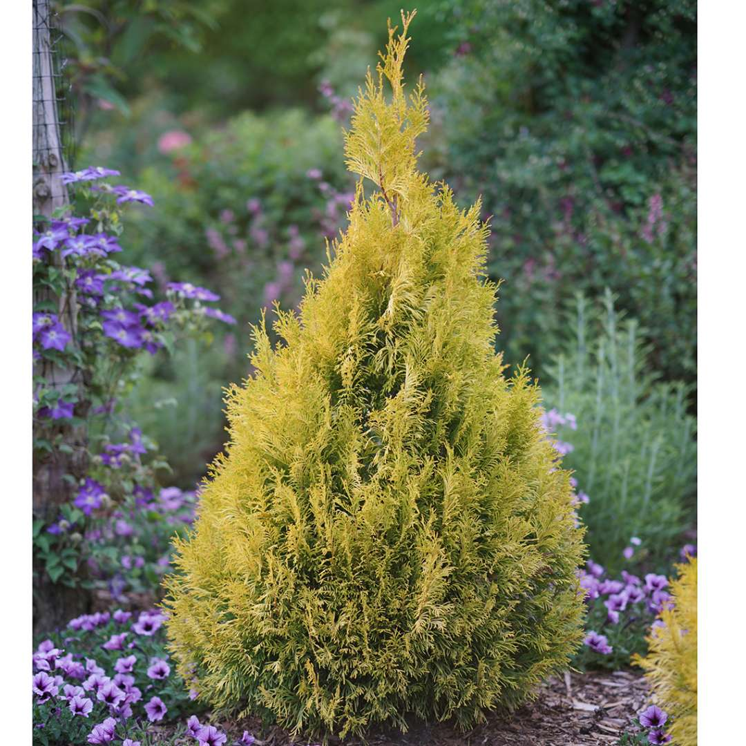 A single specimen of bright gold Fluffy Western arborvitae surrounded by purple petunias