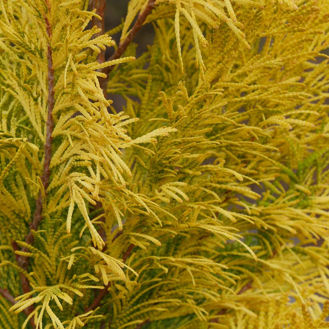 Closeup of the feathery golden foliage of Fluffy Western arborvitae
