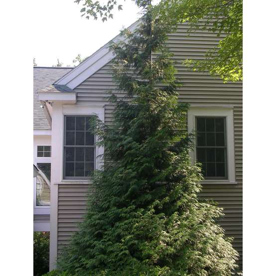 A large specimen of pyramidal evergreen Green Giant arbovitae planted between two windows of a tan colored house
