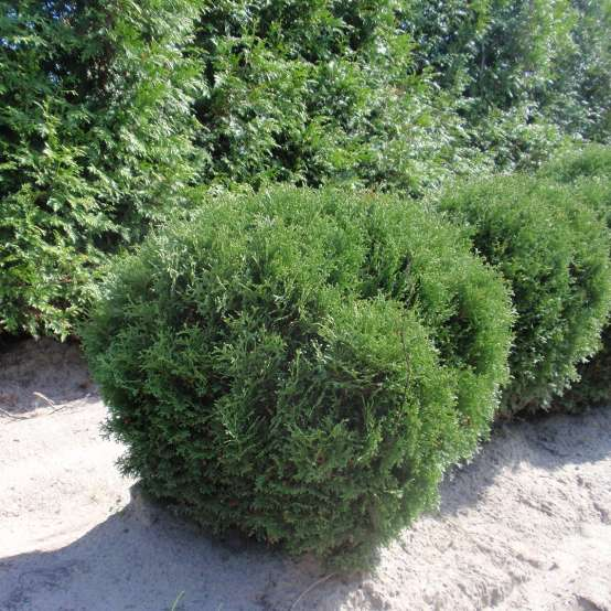 Hetz Midget arborvitae which is a small rounded evergreen growing in a sandy field in Michigan