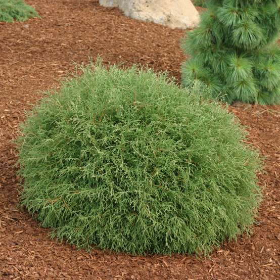 Mr Bowling Ball dwarf arborvitae in a landscape surrounded by mulch