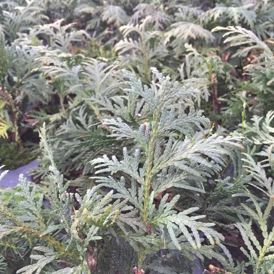 Closeup of the foliage of Nigra Dark Green arborvitae which indeed a dark green color