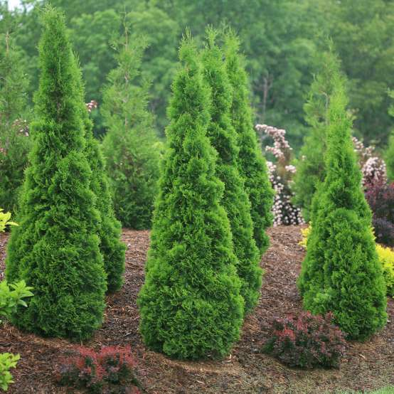 A cluster of narrow columnar North Pole arborvitae growing on a berm with colorful barberries