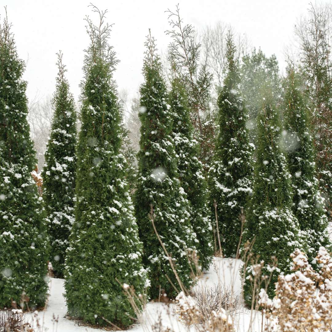 Thuja 'North Pole' used on the border of a property