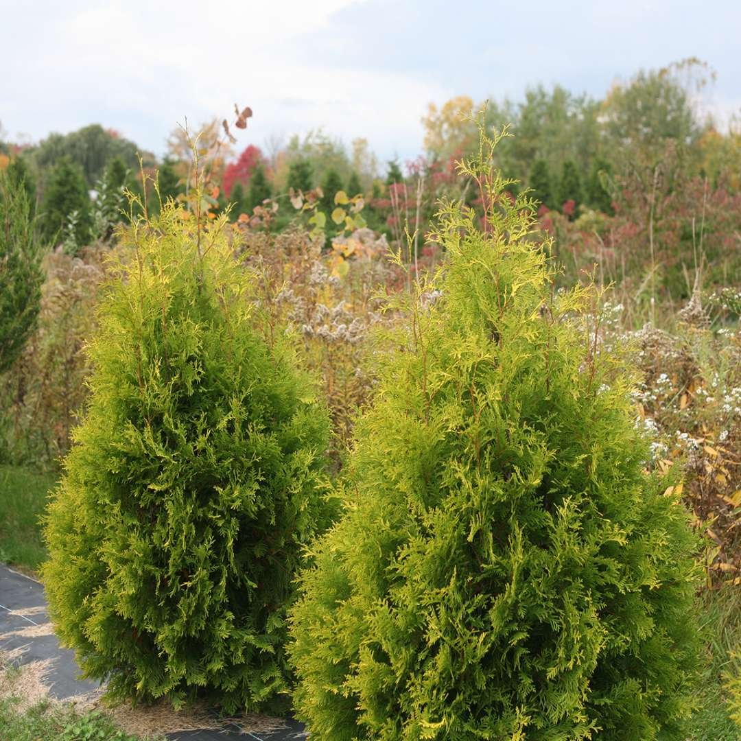 Two specimens of Polar Gold arborvitae growing in a field showing their pyramidal habit and golden foliage