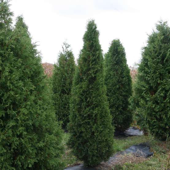 A specimen of narrow columnar Skywalker arborvitae in a field with other evergreens