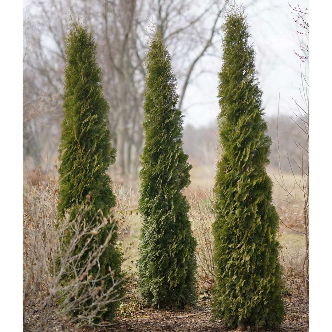 Three specimens of Skywalker arborvitae in a winter landscape