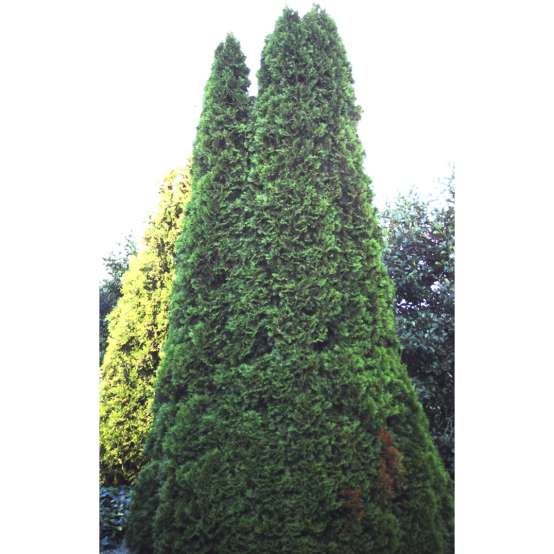 Smaragd arborvitae is a large evergreen which is also known as Emerald Green arborvitae