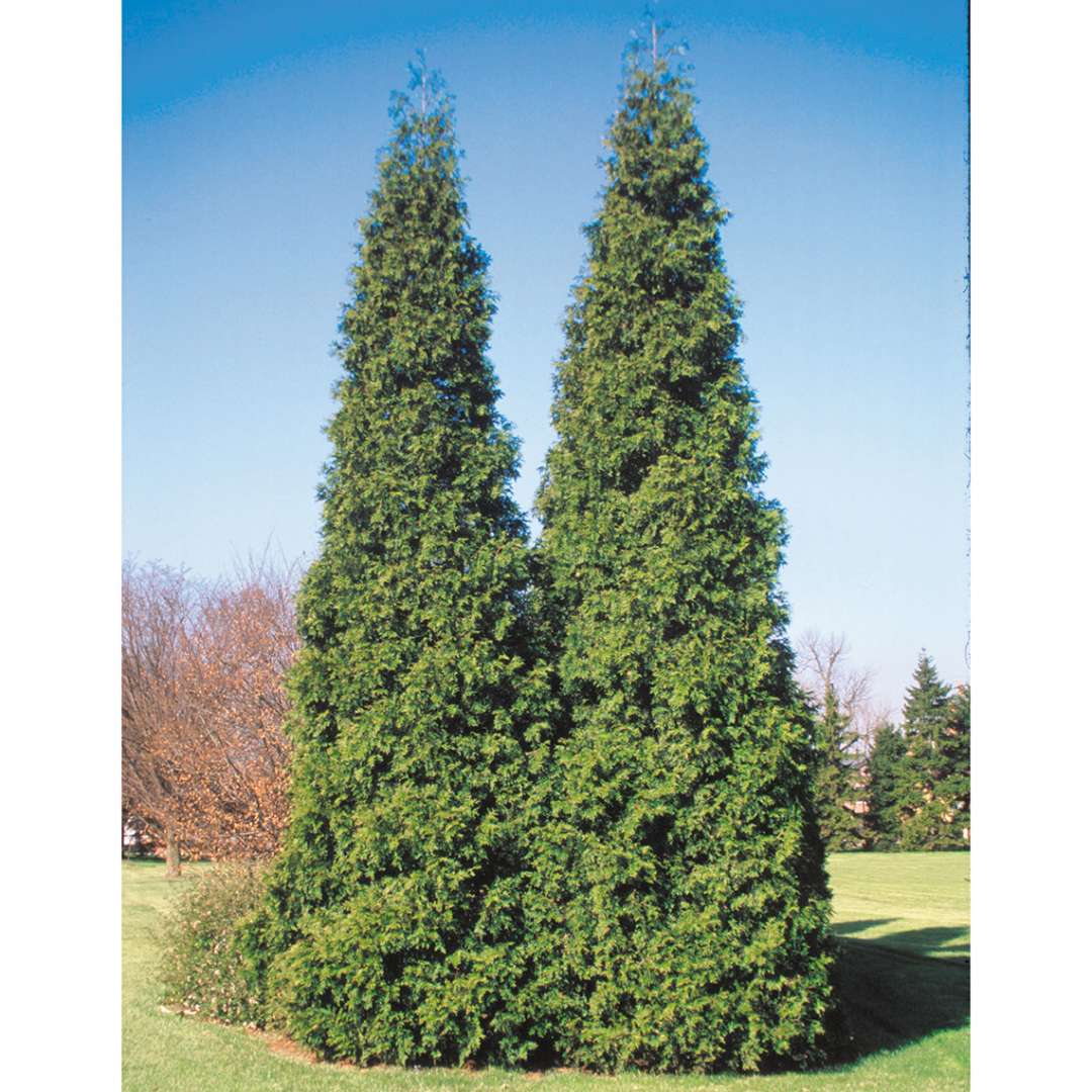 Two specimens of large pyramidal Spring Grove Western arborvitae growing side by side