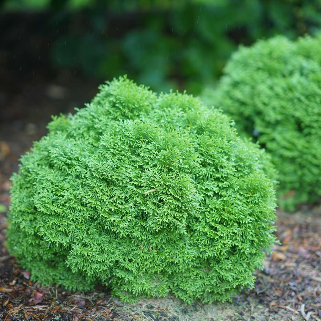 Three dwarf Tater Tot arborvitaes in a landscape
