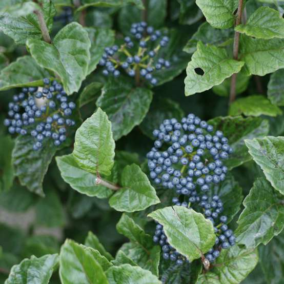 The blue fruit clusters of All That Glitters viburnum