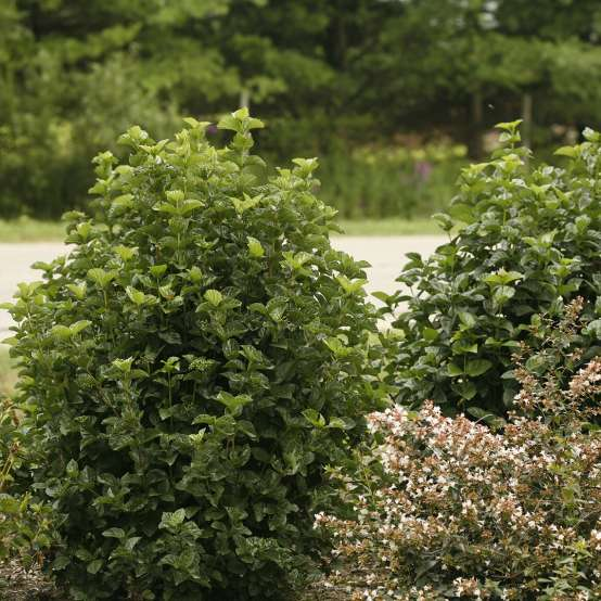Two specimens of All That Glows viburnum in a landscape with an abelia in bloom at lower right