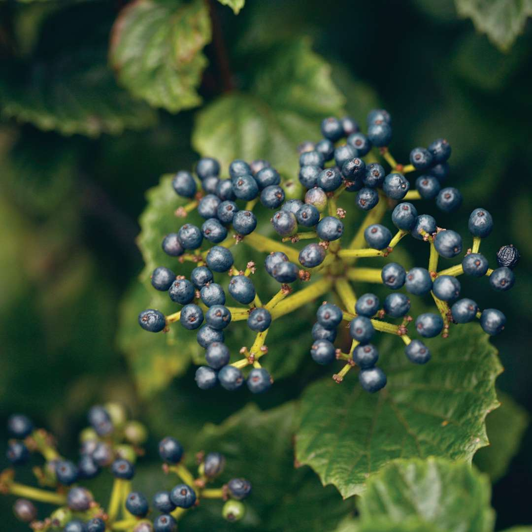 Blue fruit cluster on All That Glows viburnum
