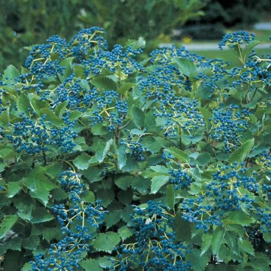 Clusters of blue fruit on Blue Muffin viburnum