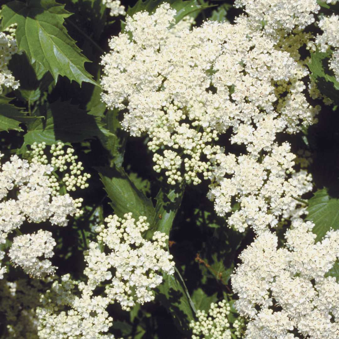 The white flowers of Blue Muffin viburnum