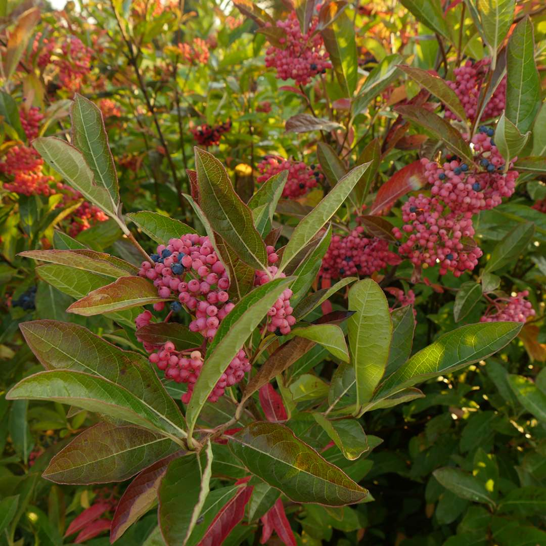 Brandywine viburnum in late September covered in pink and blue berries