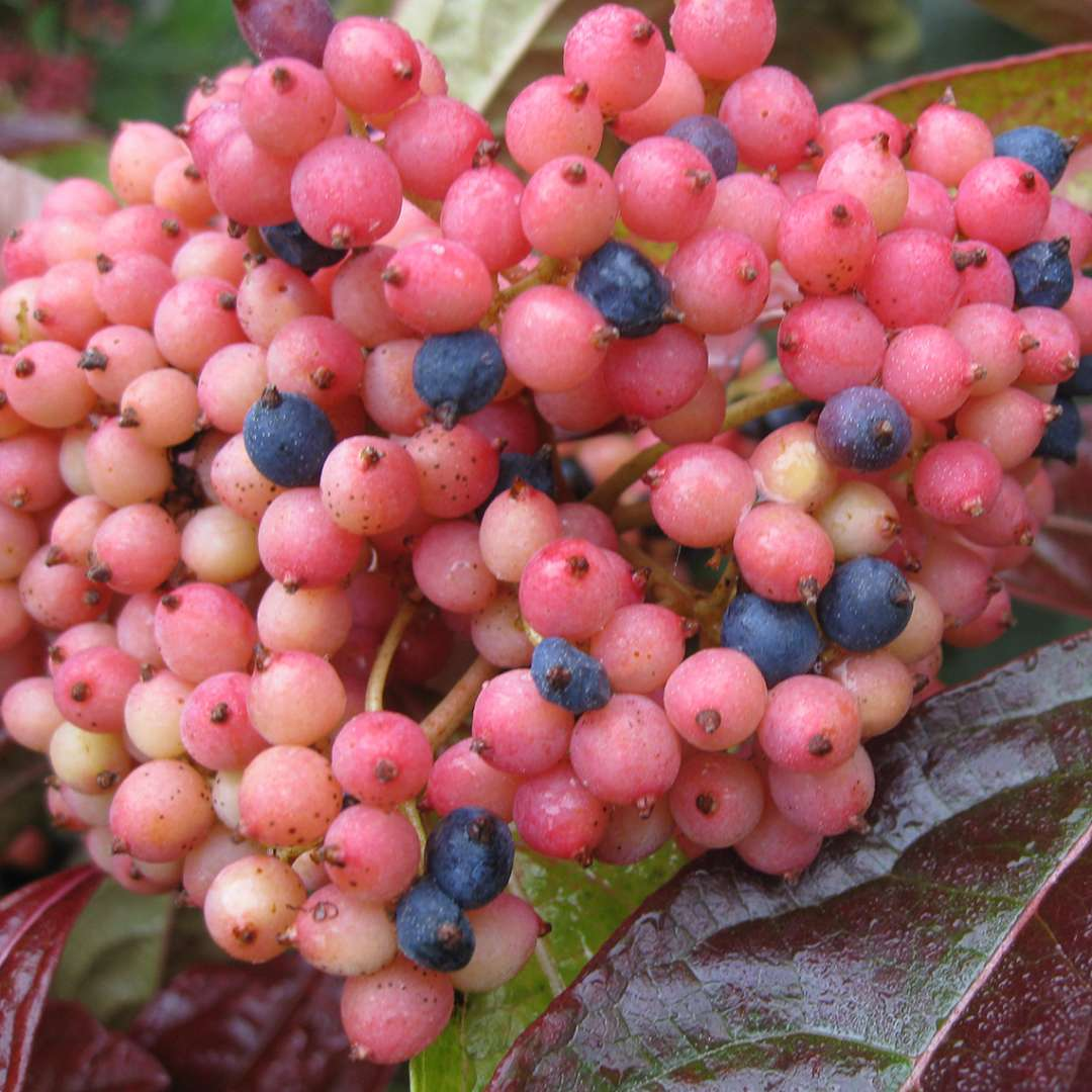 Closeup of the pink and blue berries of Brandywine viburnum