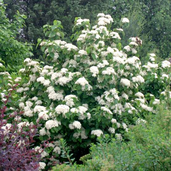 A large specimen of Cardinal Candy viburnum covered in white blooms