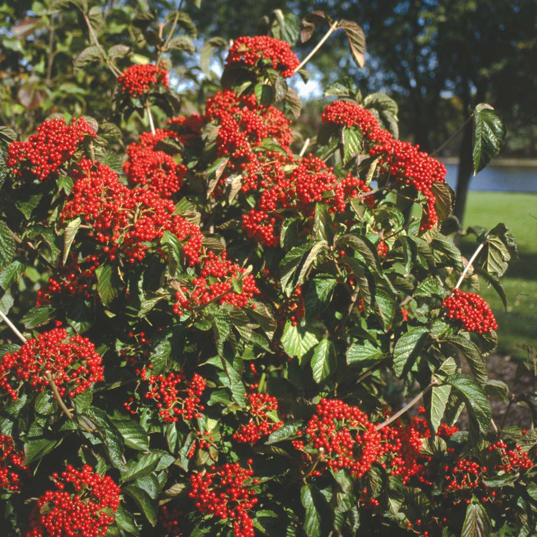 A specimen of Cardinal Candy viburnum covered in red fruit near the Grand River in Michigan