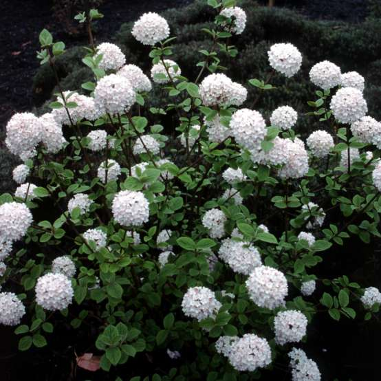 Viburnum carlesii blooming in a landscape with large white snowball like flowers
