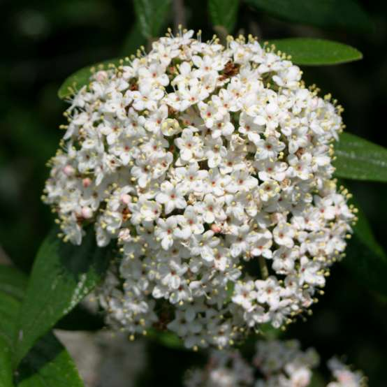 A large white flower cluster on Decker viburnum with each floret dotted orange in the center