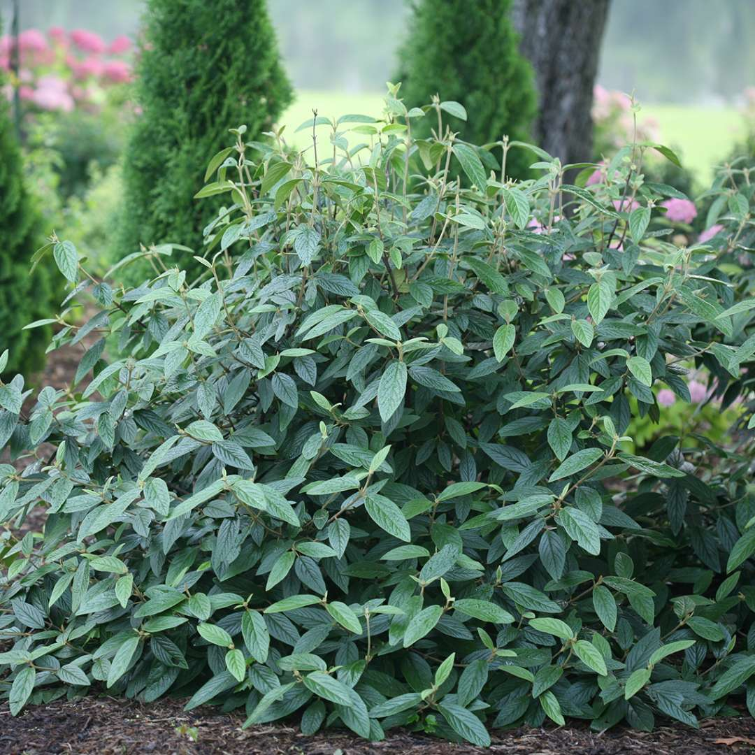 Emerald Envy viburnum in a landscape showing its mounded habit and dark green evergreen foliage