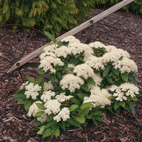 Lil Ditty dwarf viburnum in full bloom in a bed near an antique farm implement