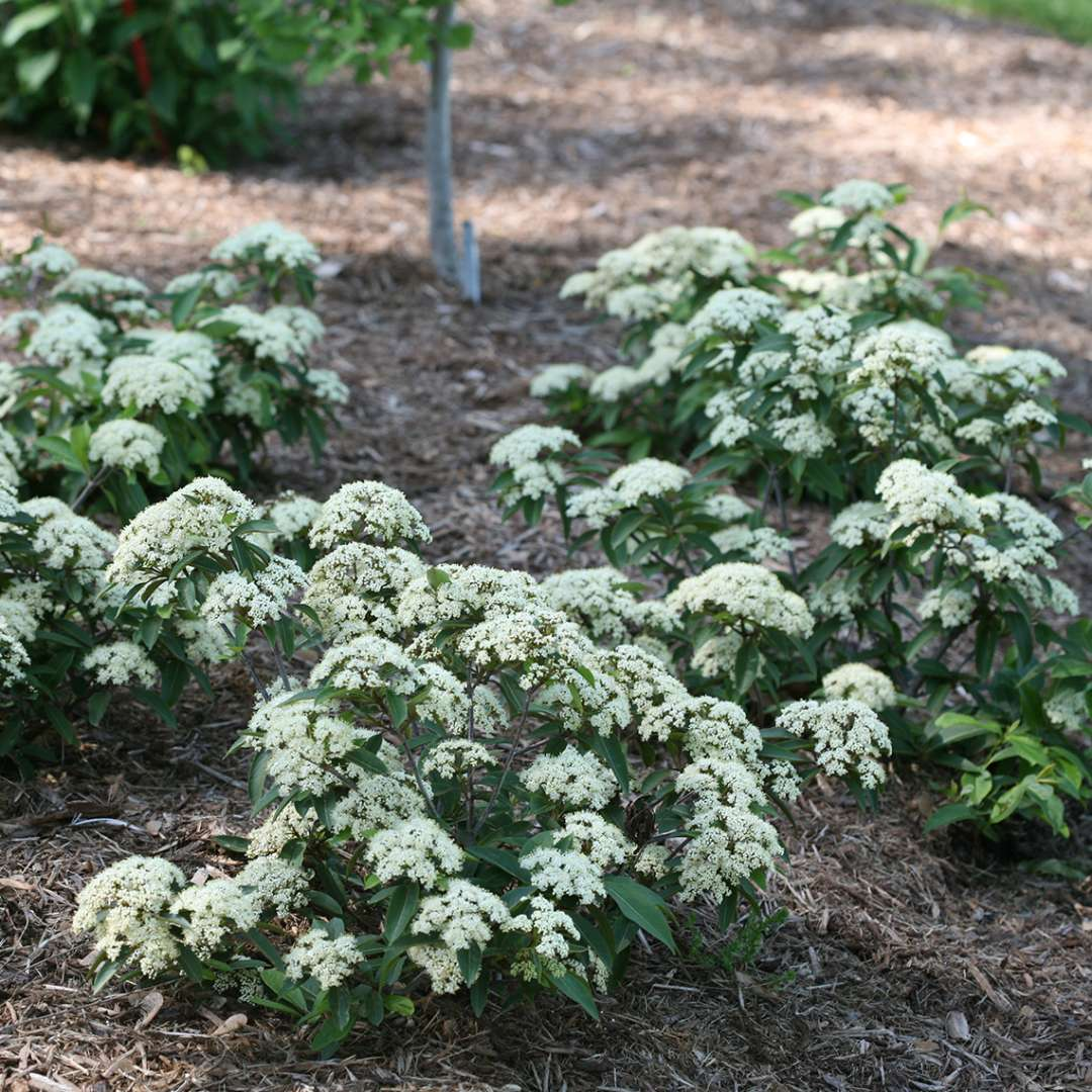 Four specimens of Lil Ditty viburnum in a landscape