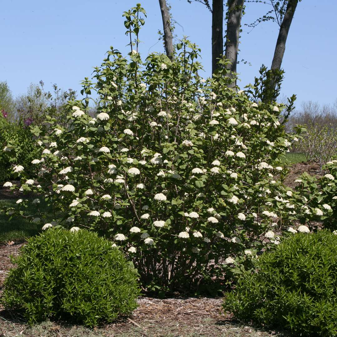 A large specimen of Red Balloon viburnum in full bloom with white flowers